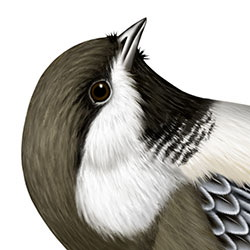 Gray-headed Chickadee Head Illustration