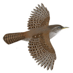 House Wren Flight Illustration