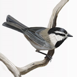Mountain Chickadee Body Illustration