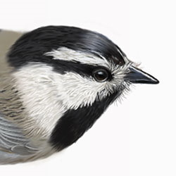 Mountain Chickadee Head Illustration