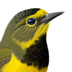 Bachman's Warbler Head Illustration