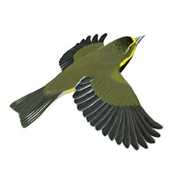 Bachman's Warbler Flight Illustration