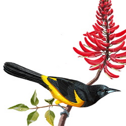 Black-vented Oriole Body Illustration