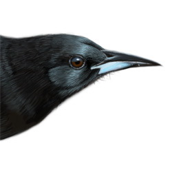 Black-vented Oriole Head Illustration