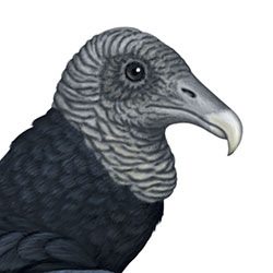 Black Vulture Head Illustration