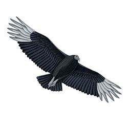 Black Vulture Flight Illustration
