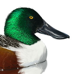Northern Shoveler Head Illustration