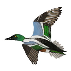 Northern Shoveler Flight Illustration