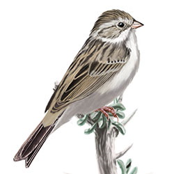 Brewer's Sparrow Body Illustration