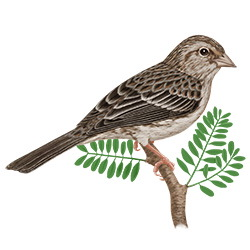 Cassin's Sparrow Body Illustration