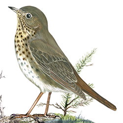 Hermit Thrush Body Illustration