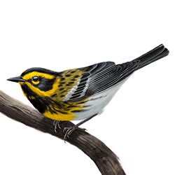 Townsend's Warbler Body Illustration.jpg