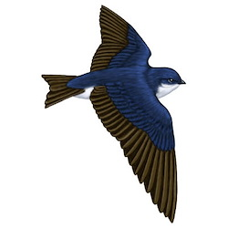 Tree Swallow Body Illustration