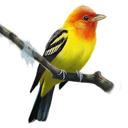 Western Tanager Body Illustration