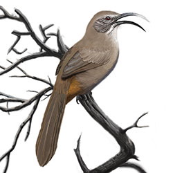 California Thrasher Body Illustration