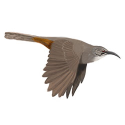 California Thrasher Flight Illustration