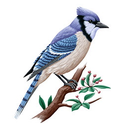 Blue Jay Body Illustration