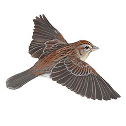 Bachman's Sparrow Flight Illustration