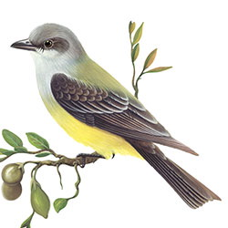 Cassin's Kingbird Body Illustration