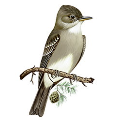 Eastern Wood-Pewee Body Illustration