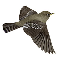 Eastern Wood-Pewee Flight Illustration