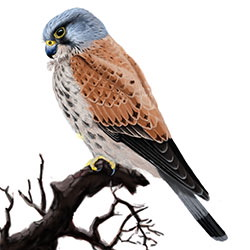 Eurasian Kestrel Body Illustration