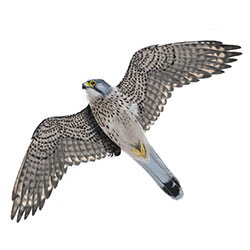 Eurasian Kestrel Flight Illustration