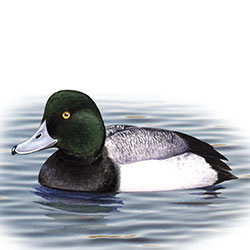 Greater Scaup Body Illustration