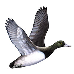 Greater Scaup Flight Illustration