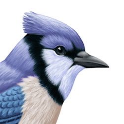 Blue Jay Head Illustration