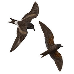 Leach's Storm-Petrel Flight Illustration.jpg