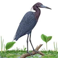 Little Blue Heron Body Illustration_2