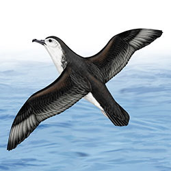 Barolo Shearwater Body Illustration