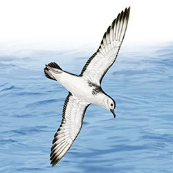 Barolo Shearwater Flight Illustration
