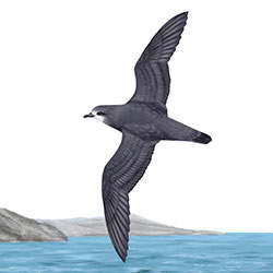 Murphy's Petrel Body Illustration