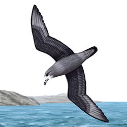 Murphy's Petrel Flight Illustration