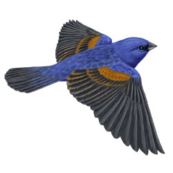 Blue Grosbeak Flight Illustration