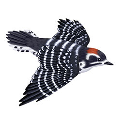 Nuttall's Woodpecker Flight Illustration