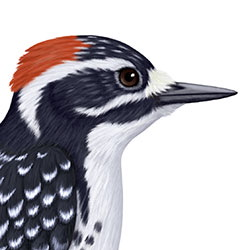 Nuttall's Woodpecker Head Illustration