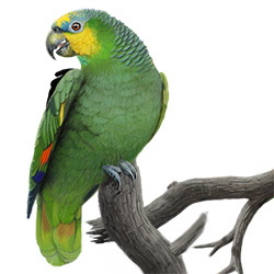 Orange-winged Parrot Body Illustration