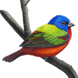 Painted Bunting Body Illustration