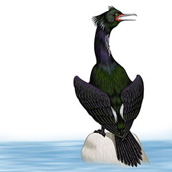 Pelagic Cormorant Body Illustration
