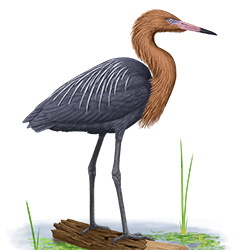 Reddish Egret Body Illustration