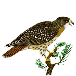 Red-tailed Hawk Body Illustration