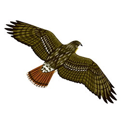 Red-tailed Hawk Flight Illustration