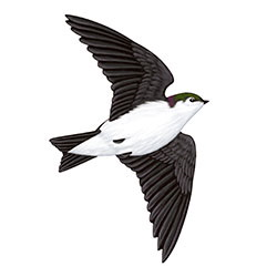 Violet-green Swallow Flight Illustration