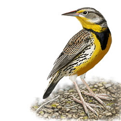 Western Meadowlark Body Illustration