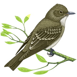 Western Wood-Pewee Body Illustration_2