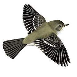 Western Wood-Pewee Flight Illustration_2