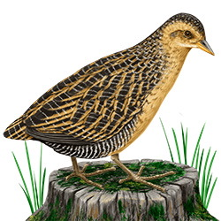 Yellow Rail Body Illustration